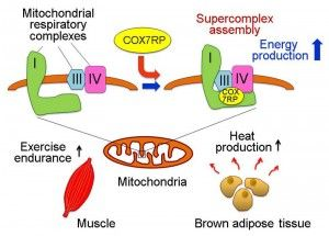 Schematic representation of the functional role of COX7RP in mitochondrial respiration and in muscle and brown adipose tissue. COX7RP promotes the assembly of the I+III+IV supercomplex which is required for full activition of mitochondrial respiration and energy (ATP) synthesis. COX7RP plays important roles in energy production in muscle and heat production in brown adipose tissue. © Kazuhiro Ikeda and Satoshi Inoue. #UTokyoResearch