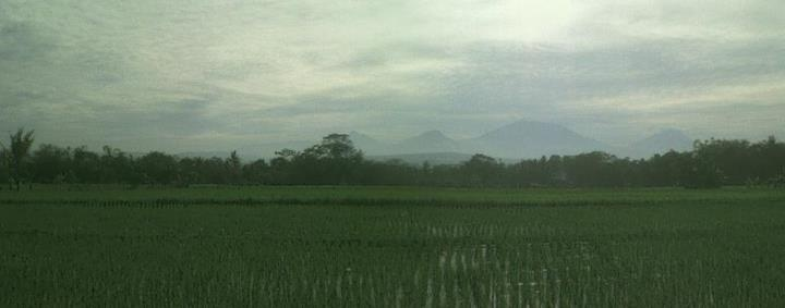 hamparan #padi #hijau