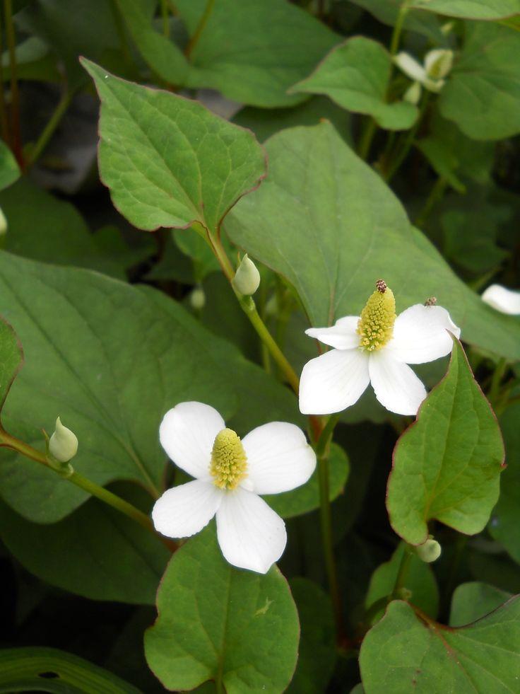 Houttuynia cordata #Houttuynia https://joseppamies.wordpress.com/2015/06/28/houttuynia-cordata-planta-anti-radiactiva-usada-en-hirosima/