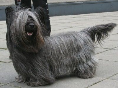 Skye Terrier Information - Dog Breeds at thepetowners