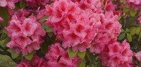 Rhododendron düngen: Dies ist bei der Düngung wichtig