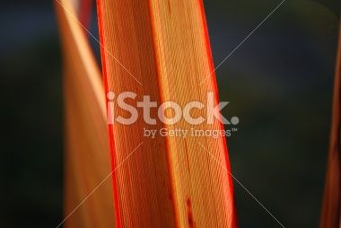 Sunlit Harakeke Leaf (NZ Flax) Royalty Free Stock Photo