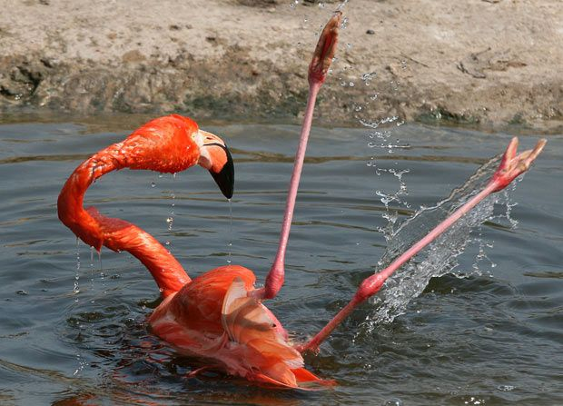 When flying in a flock, the top speed of a flamingo can be as high as 35 miles per hour. Description from gardenofeaden.blogspot.co.uk. I searched for this on bing.com/images