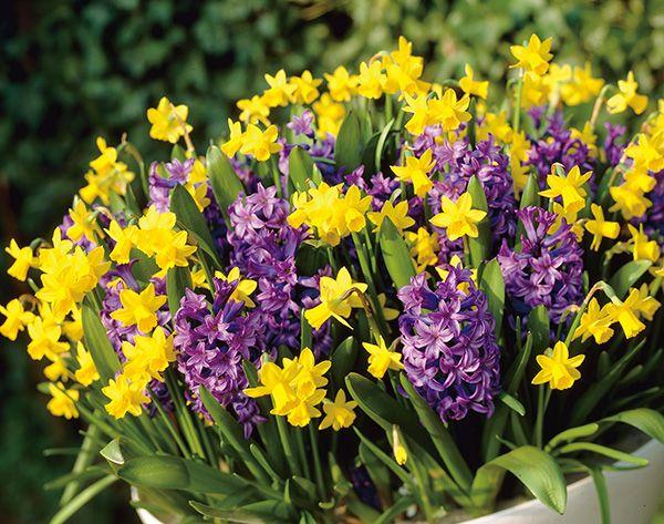 Zoete lentegeuren bereik je het beste met hyacinten of crème-witte narcissen. Kijk voor meer tips op www.tuinen.nl