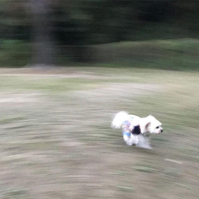 追えなかったww  #ポメプー #ポメラニアン #プードル #オス #ラミ #愛犬 #あまえんぼ #可愛い #もふもふ #ミックス犬 #ハーフ犬 #20140531 #2歳 #癒し #親バカ #滋賀から来た #ブリーダーは毛芝さん #パテラ