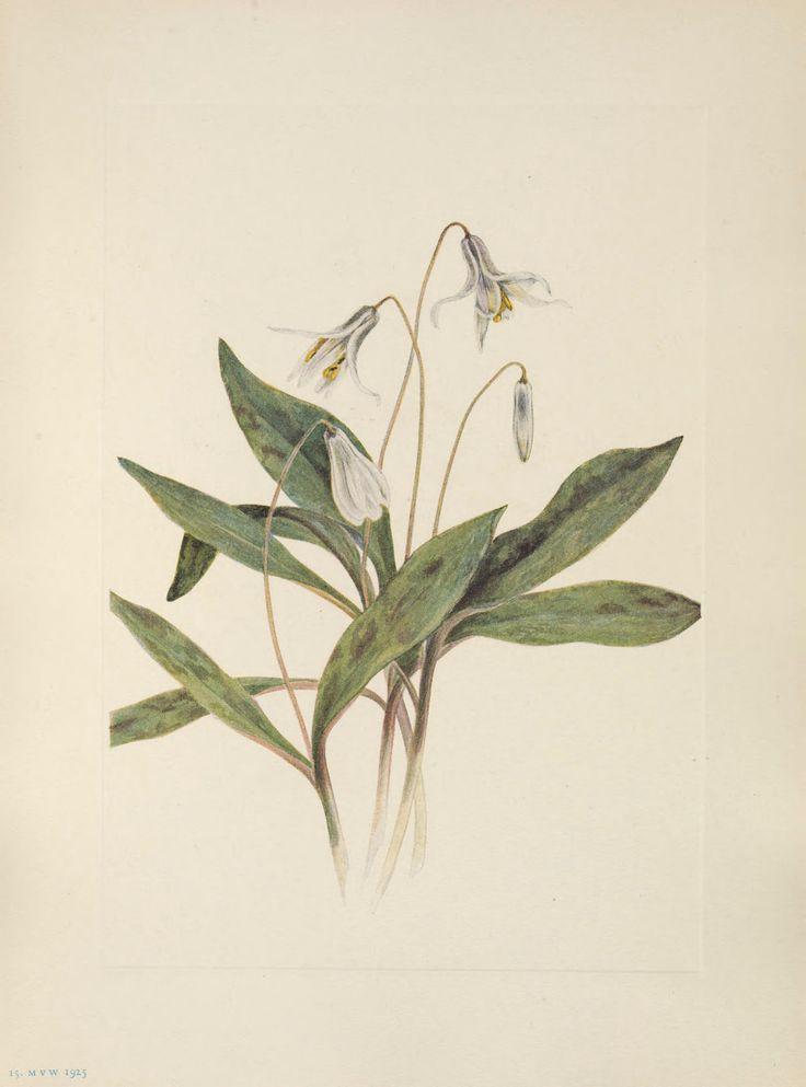 Erythronium albidum - circa 1927