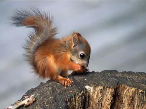 cuteCute Baby, Animal Baby, Baby Baby, Baby Squirrels, Creatures, Red Squirrels, Baby Animal, Things, Adorable Animal