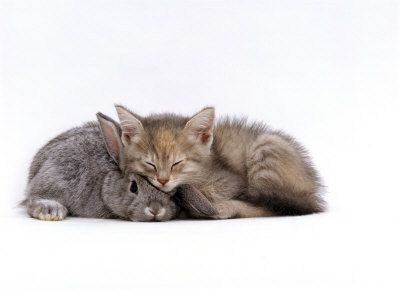 how on earth can this get any better?: Silver Dwarfs, Animal Friendship, Lop Ears, Tortoiseshell Kittens, Dwarfs Lop, Silver Tortoiseshell, Ears Rabbit, Domestic Cat, Cutest Animal