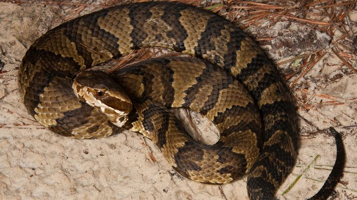 Venomous Snakes In The United States