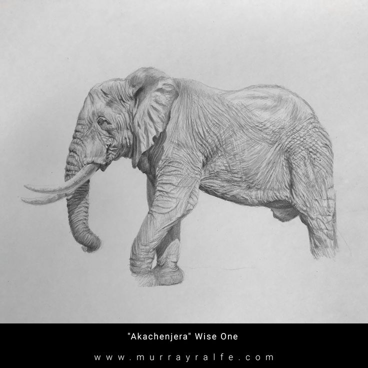 """""""Akachenjera""""  Meaning: Wise One in Shona African Elephant Bull Pencil Drawing by Murray Ralfe  2017"""