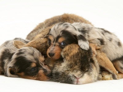 Silver Dapple Miniature Dachshund Puppies Cuddled up with Tortoiseshell Dwarf Lop Doe Rabbit