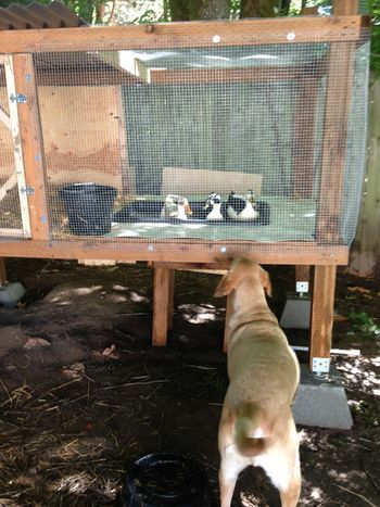 1000 ideas about duck pens on pinterest duck house for Chicken and duck coop