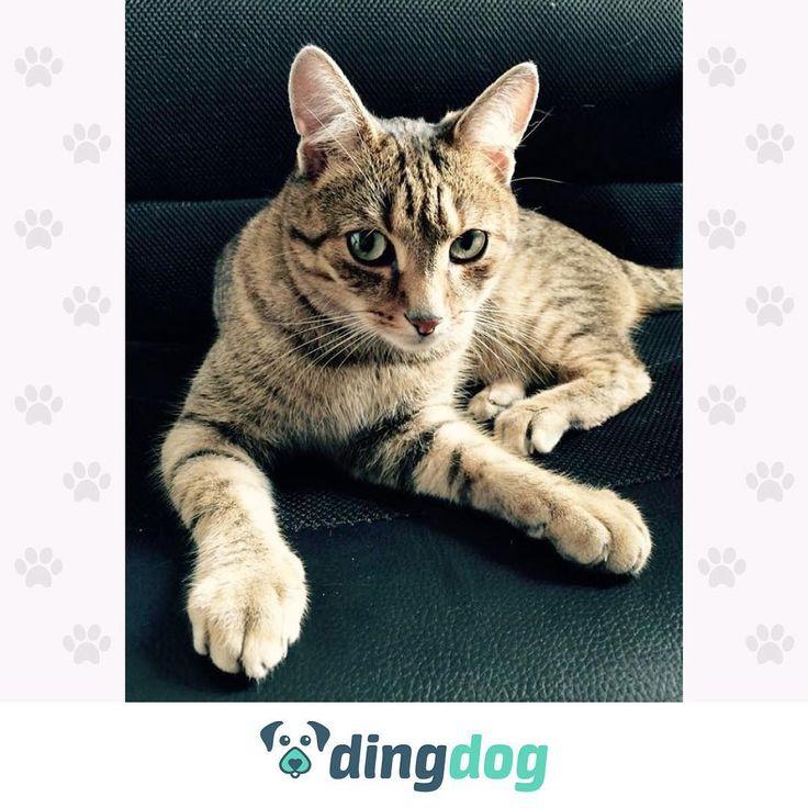 Fotel managera zajął dzisiaj Robin. doradza nam, jakie kocie problemy może rozwiązać dzięki DingDog. #DingDog