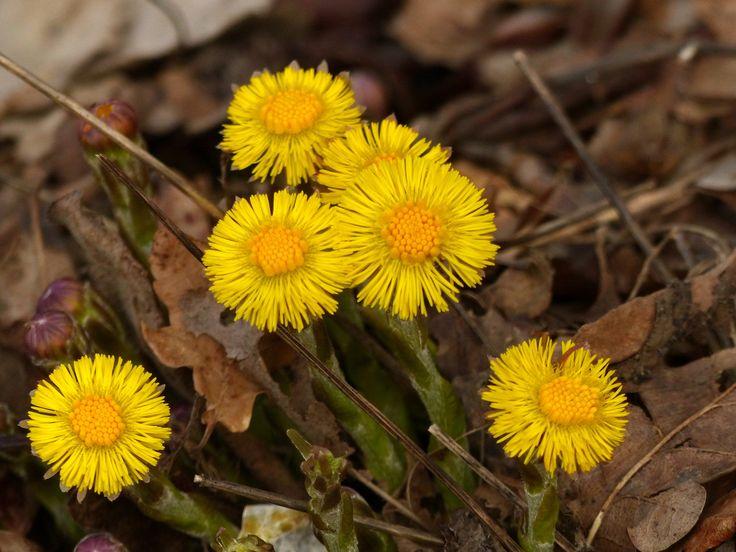 https://flic.kr/p/S3kRtE | Enfin de fleurs dans les prés | Tussilage (Tussilago farfara)