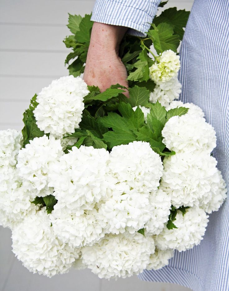 Wonderful white Viburnum, also called Snowballs - plant these in front.