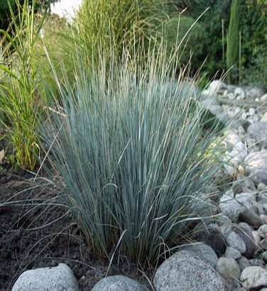 Helictotrichon sempervirens -  Beautiful bluish foliage. Form a tight clump and prepared. Demand well-drained soil and tolerates poor sandy soils.      4     For best results:   Planting perennials with compost     USES: Isolated or mass. SYNONYM: AVENA SEMPERVIRENS
