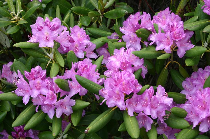 180 best images about flowers azalea rhododendron for How to care for rhododendrons after blooming