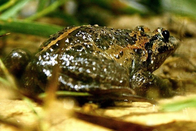 Painted Hula Frog -   'Living fossil' frog thought extinct rediscovered in Israel, last member of its ancient family