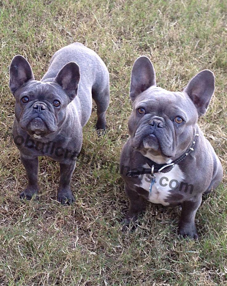 Blue French Bulldogs French bulldog breed, French