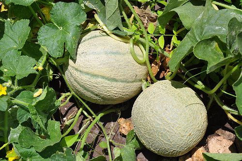 how to grow cantaloupesGardens Ideas, Green Thumb, Gardens Yards, Cantaloupe Melon, Cantaloupe Growing, Growing Guide, Growing Canteloupe, Gardens Growing, Growing Cantaloupe
