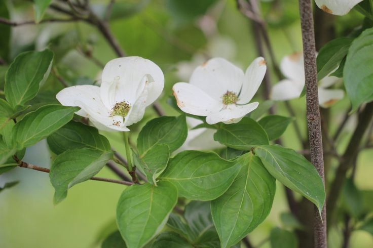 Hybrid Dogwood 'Venus' Change is the topic this week. Gardeners know all about change.