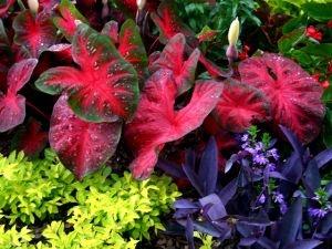 Coleus and Caladium | Garden Guides