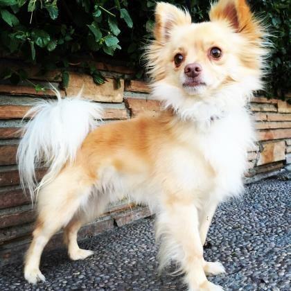 <3 ANDY!! <3 Pomeranian X & Chihuahua •