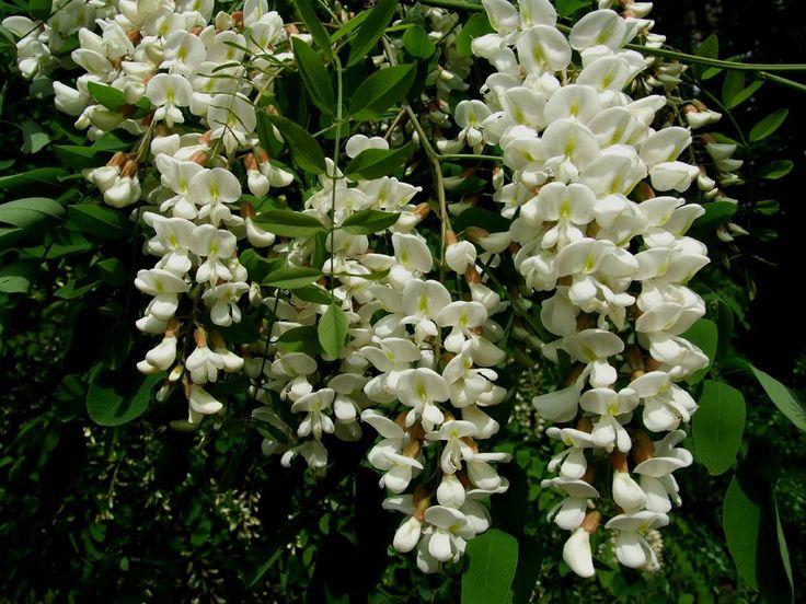 Ψευδοακακία (Robinia pseudoacacia)