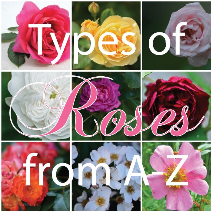 Complete List Of Rose Names | Click here take you to the list of Rose Types from A-Z