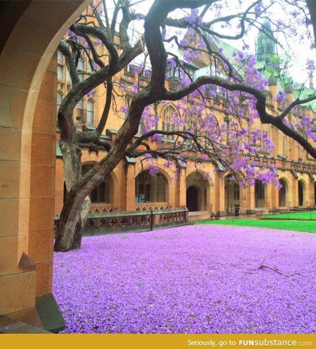 Jacaranda tree at sydney university today
