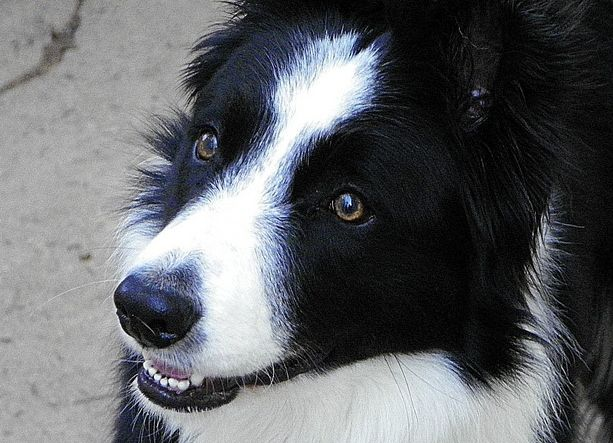 Artist Stephen Kline has collected a variety of dog and people images. Please visit his gallery at drawDOGS.com where you'll find over 110 breeds of dogs drawn from just words including the Border Collie.
