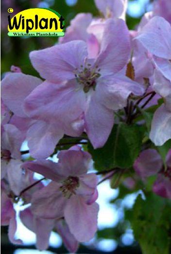 Malus 'Onneli' (tidigare under namnet 'Kivitorppa'), Prydnadsäppel. FinE-sort.   Stora (5-6 cm) ljusrosa blommor.  Orangeröda frukter.  Zon III