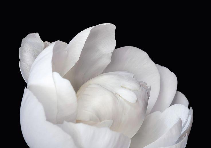 Jane Star Photograph - Flower Pearl by Jane Star  #JaneStar #Peony #White #Flower #ArtForHome #InteriorDesign #HomeDecor