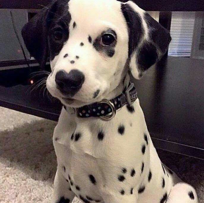 dalmatian heart eye dog cutie