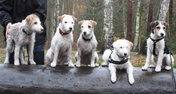 parson russell terrier info | Parson Russell Terrier | Information, pictures and video of Parson ...