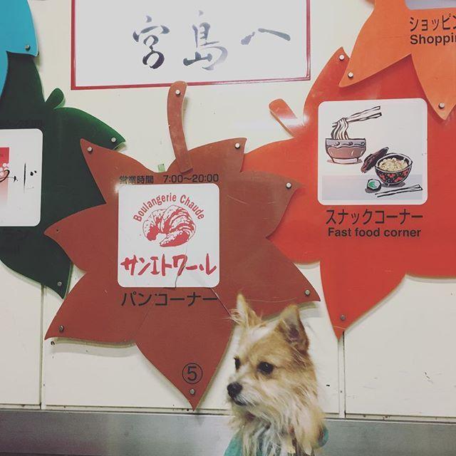 . 宮島サービスエリア(ᵔᴥᵔ) まだまだ先は長いぞ〜 雨降ってる_(┐「ε:)_ .  #保護犬カフェ#出身#保護犬#ミックス犬#ミックス犬同好会 #ヨークシャーテリア#ポメラニアン#ミックス#なのかな#dog#犬#愛犬#テリアミックス#僕の名は#こっぺぱん#こっぺぱんまん#shampoo #mix #pomeranian #yorkshireterrier #dogstagram
