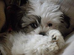 Malshi (Maltese x Shih Tzu) - My next puppy will be one of these!