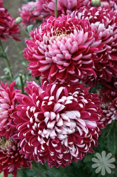 Chrysanthemum 'Keystone'