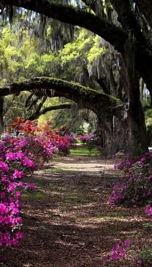 A Shady Arbor Among The Oaks And Azaleas At The Magnolia Plantation Gardens In Charleston