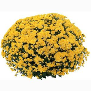 Cesaro Belgian Chrysanthemum  Plant: Early Bloom (Sept 10 - 20)