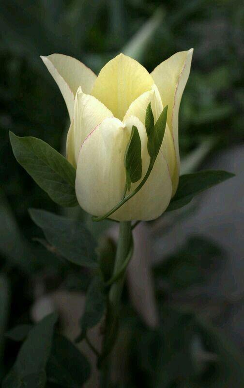 #KlauVázkez #Tulips #Holland