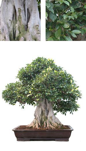 Ref101884 - Ejemplar Ficus retusa de 122 años. Estilo Moyo-gi.  Pídenos más información en info@mistralbonsai.com