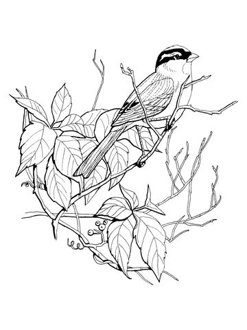 White Crowned Sparrow Coloring Page From Sparrows Category