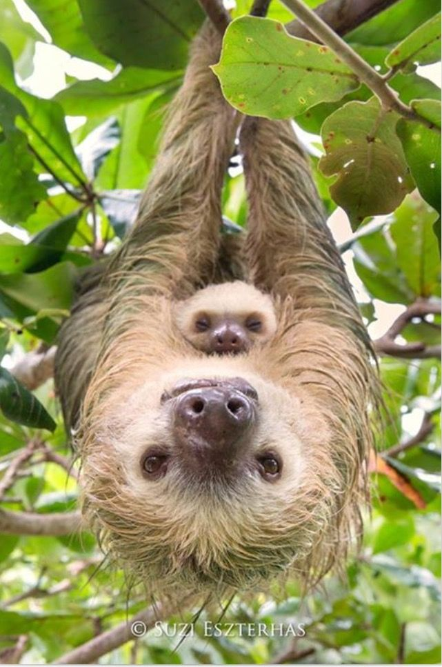 Best Animals Images On Pinterest Sloths Adorable Animals - 5 month old baby and sloth are the most unlikely of best friends