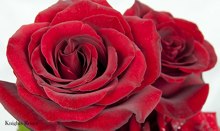 Daniel Morcombe Rose