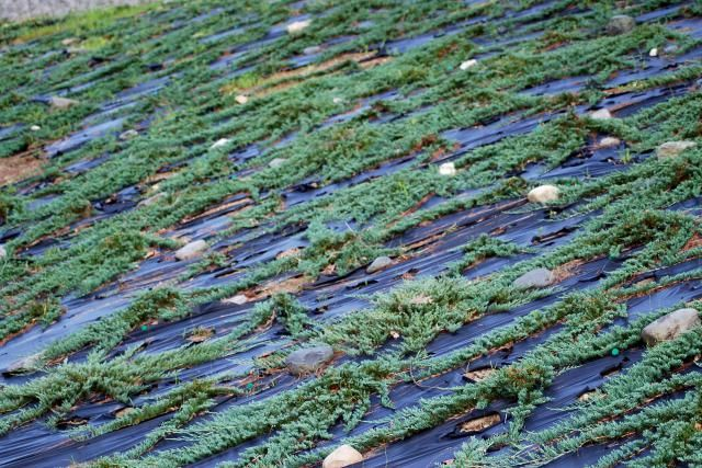Tough Slope? Junipers Are Up to Task: Creeping Juniper: Blue Rug. Juniperus horizontalis 'Blue Rug' ('Wiltonii' is similar). Notice how the plants in the photo are poking out through holes in what looks like black plastic? Well, let me explain what this material really is, how to install it, and why this covering works hand-in-hand with such a planting of creepi