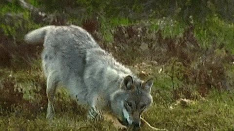 White Wolf : 19 Stunning Photos Of Impressive Wolf Jumps