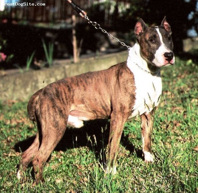 Dogue Brasileiro   Origin: Brazil