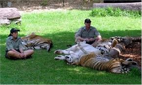 The gorgeous Dreamworld Tigers!