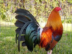 """Kelso Gamefowl"""" - DTchickens's Review of Gallo Kelso"""